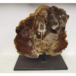 Fossile d'araucaria